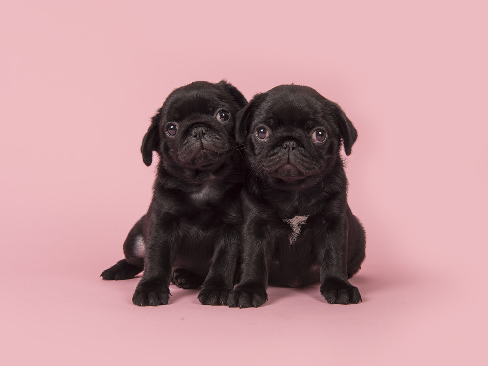 Two pug puppies on pink background