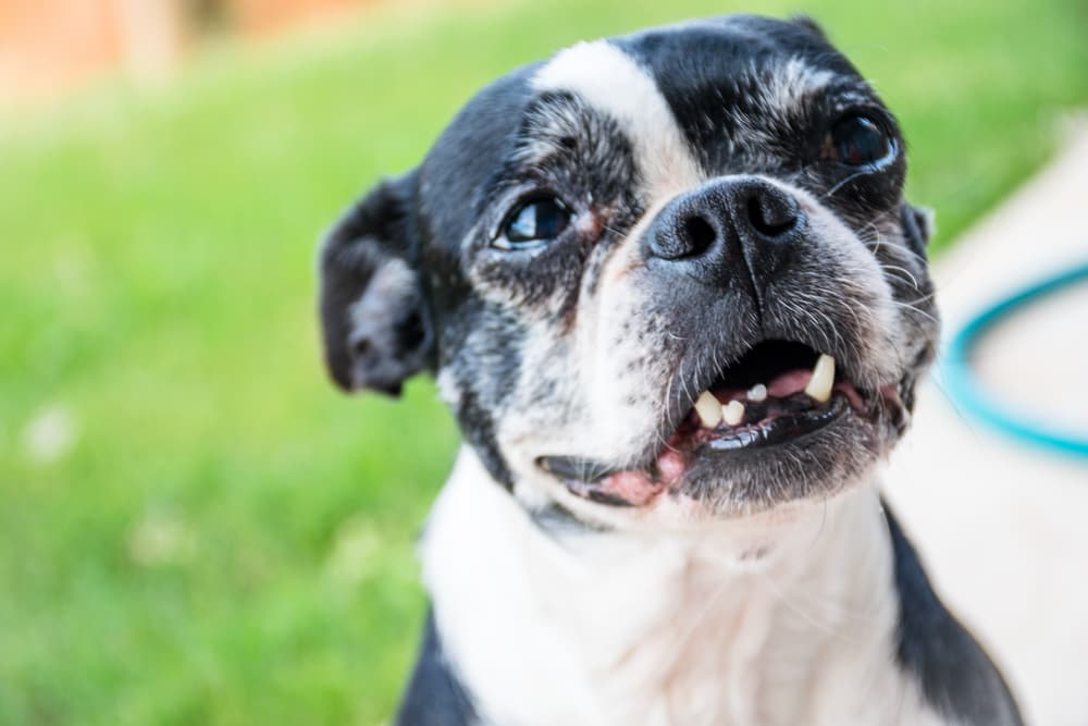 Funny old dog smiling