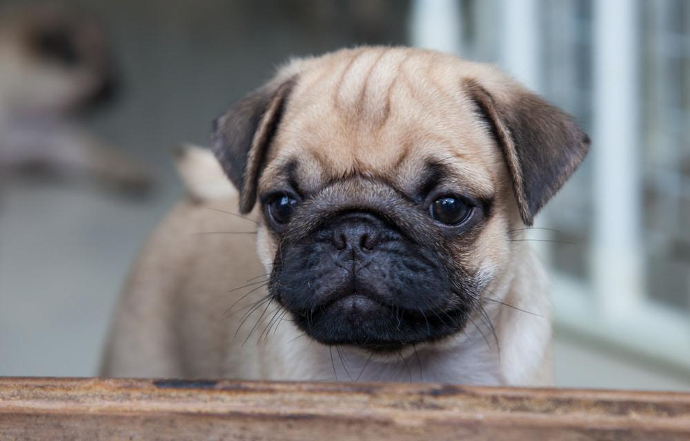 Sweet pug puppy