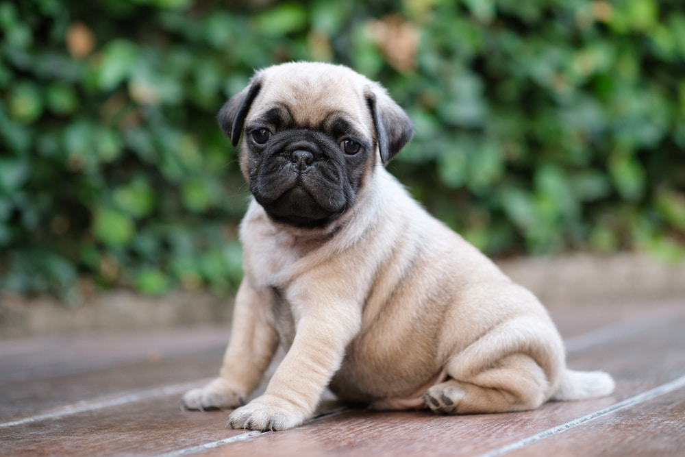 Cute pug puppy outside