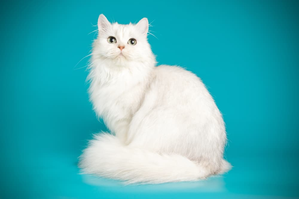 White Persian cat on blue background