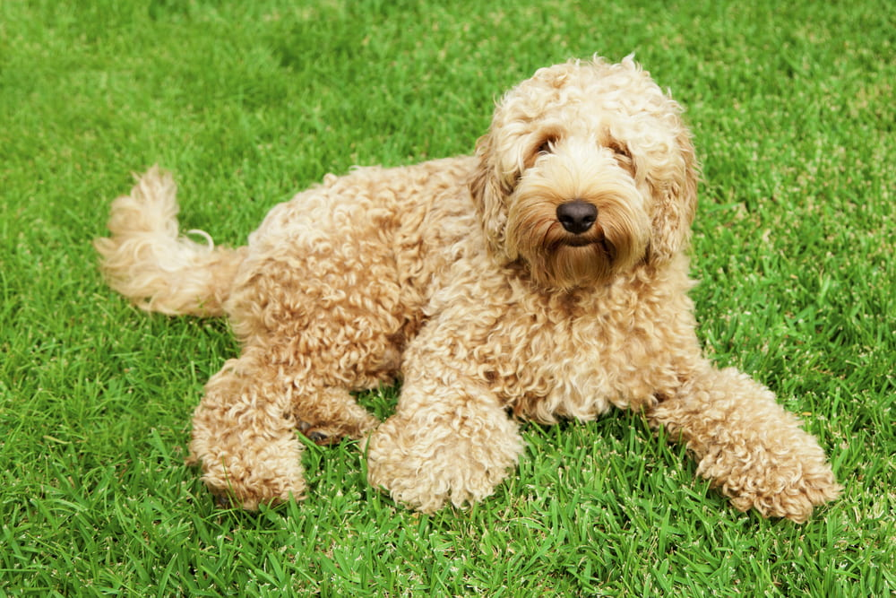 Golden Labradoodle dog on grass