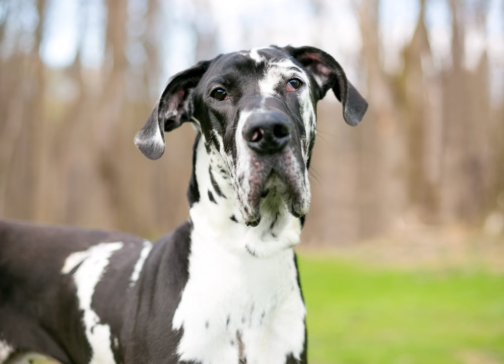 Portrait of Great Dane dog