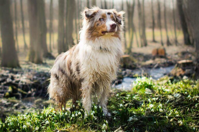 Australian Shepherd in the woods