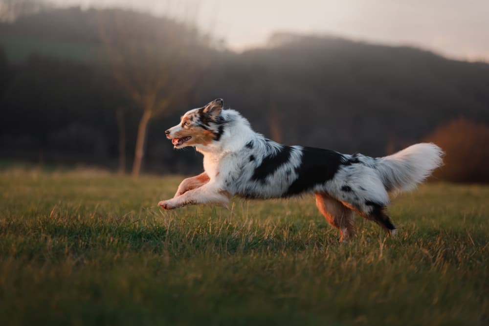Australian Shepherd running in field