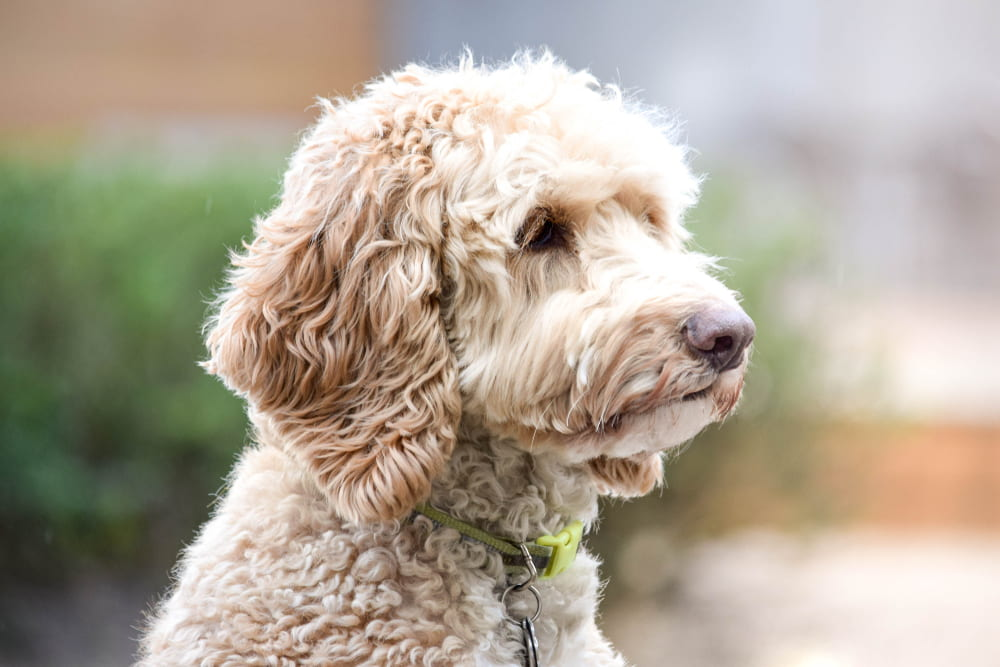 Cute golden Labradoodle