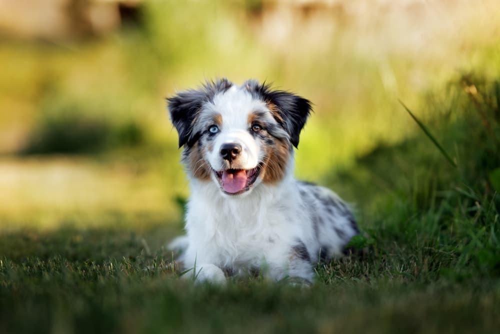 Australian Shepherd puppy outside
