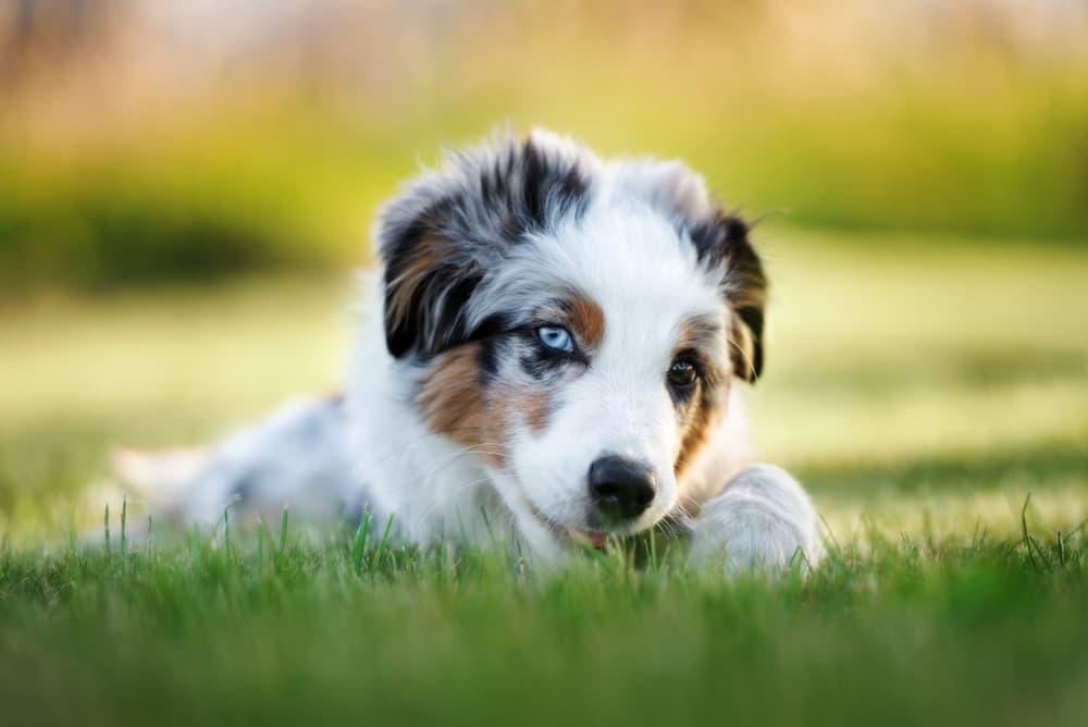 Australian Shepherd puppy in grass