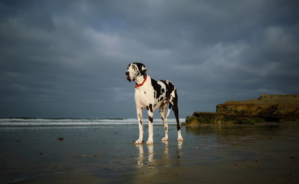 Great Dane with beach in background