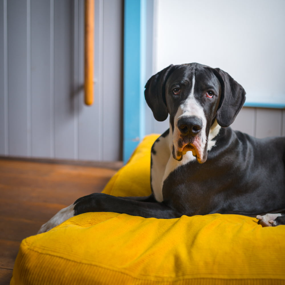 Great Dane resting at home