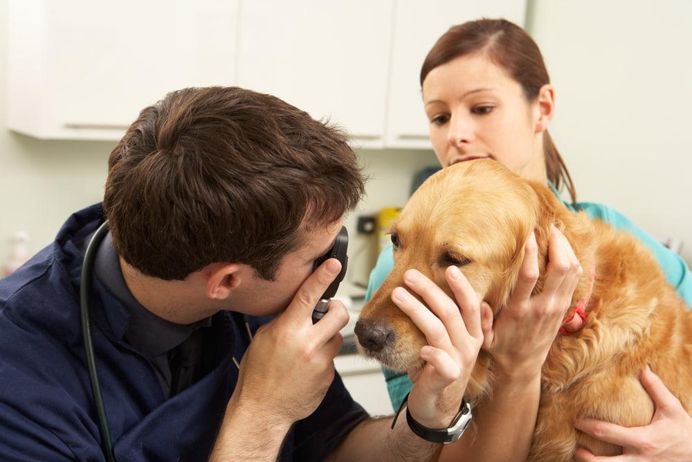 Veterinarian doing dog eye exam
