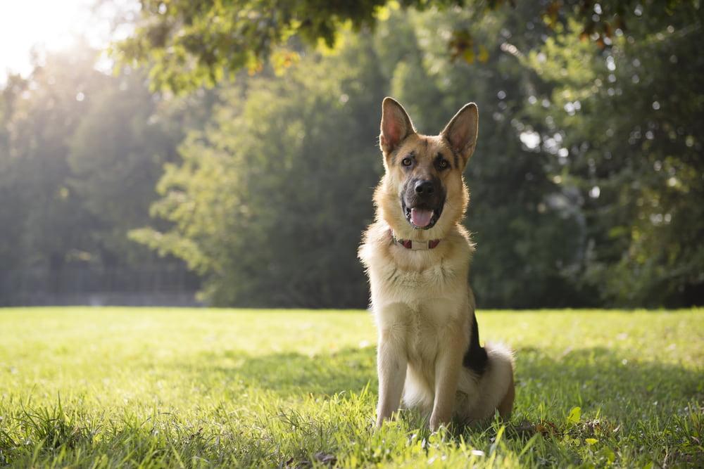 German Shepherd sitting in yard