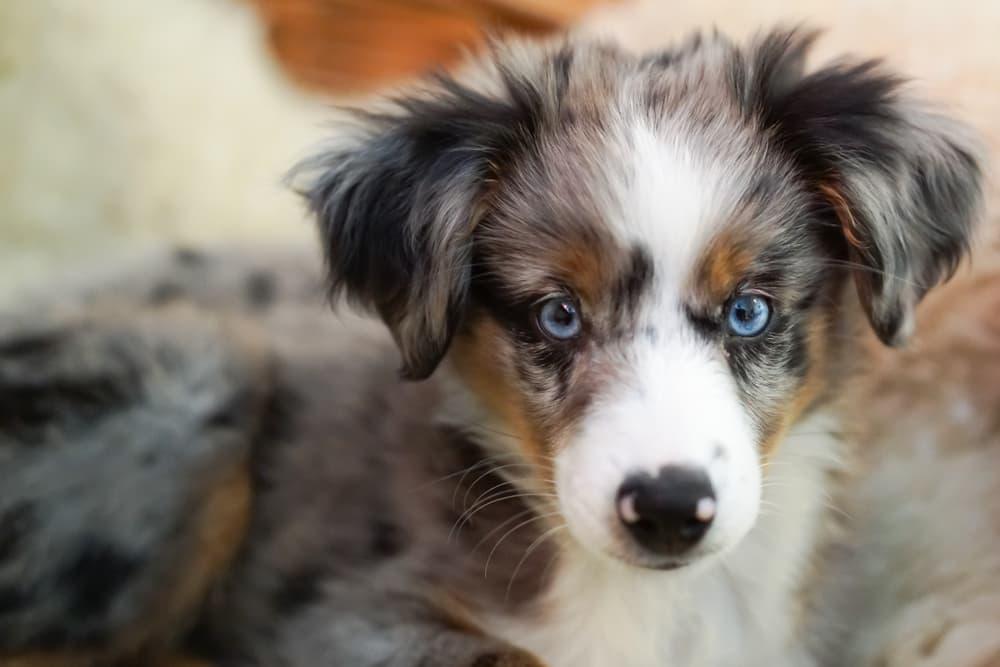 Australian-Shepherd-puppy-face