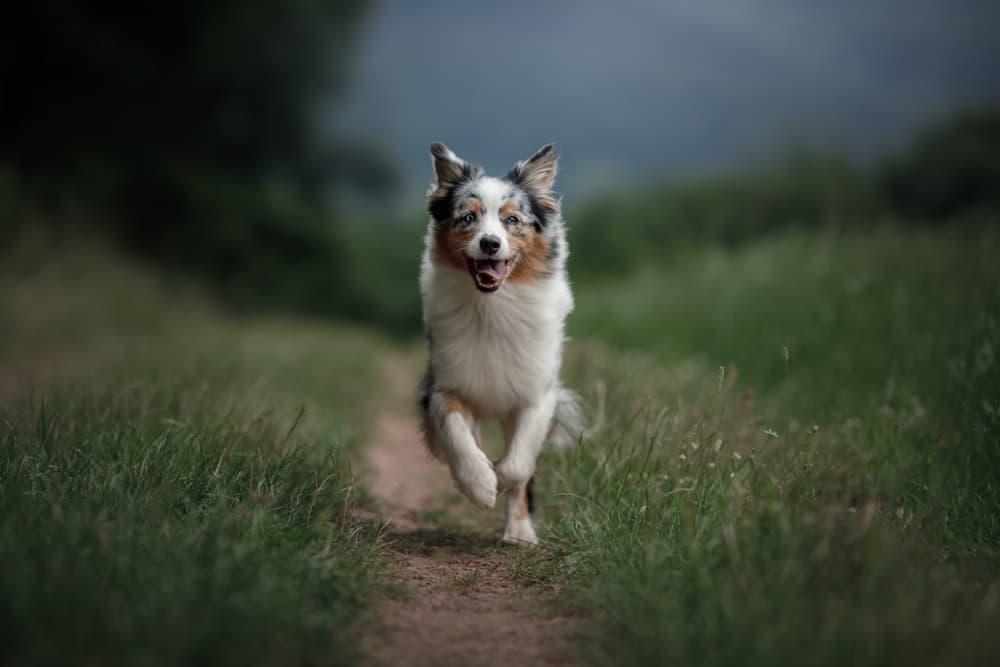 Aussie dog running in field