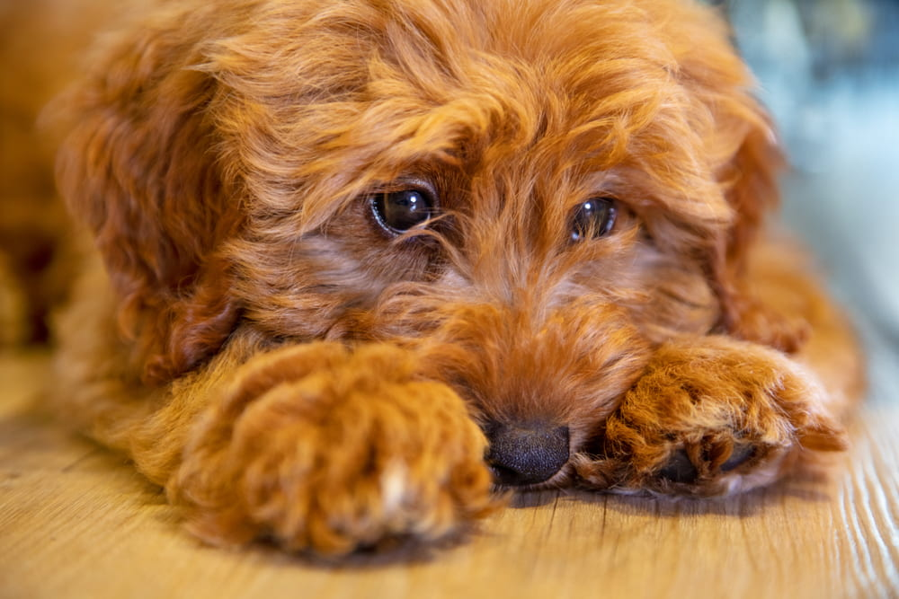 Closeup of Labradoodle puppy