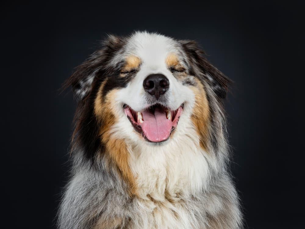 Australian Shepherd smiling