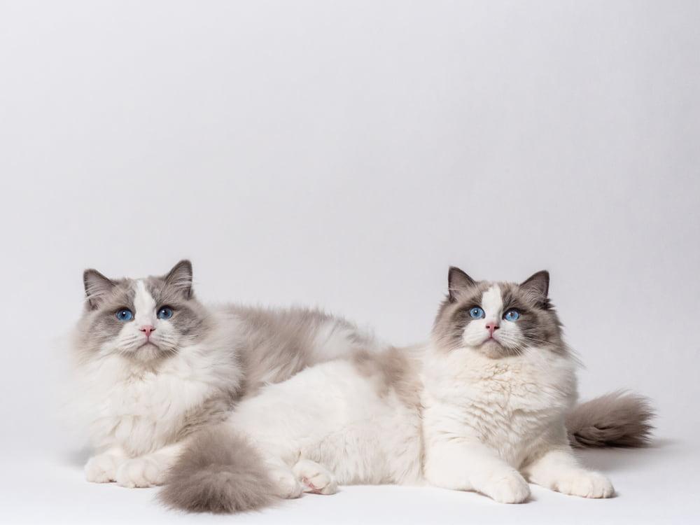 Two Ragdoll cats
