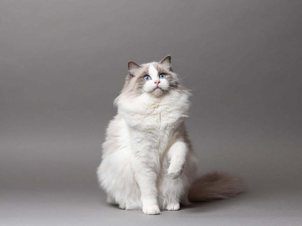 Studio portrait of Ragdoll cat