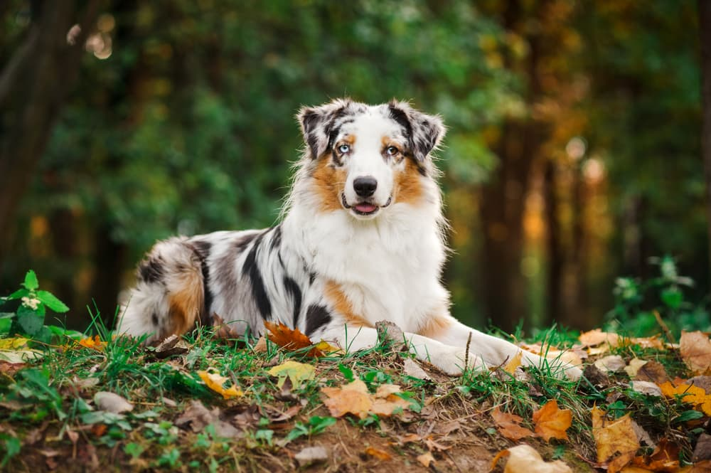 Aussie dog lying down in the woods