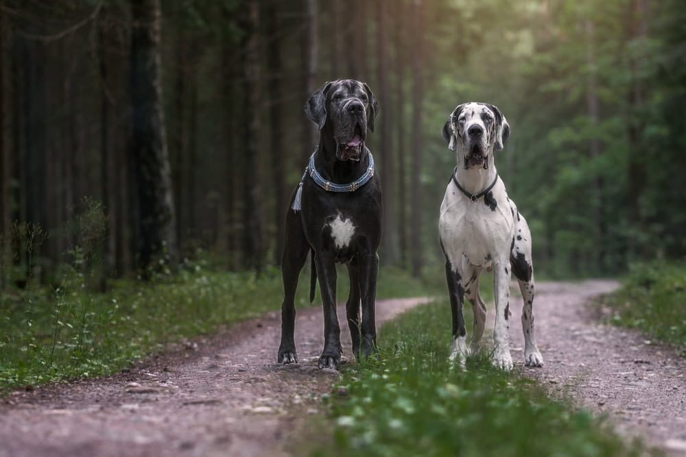 Two Great Dane dogs in the woods