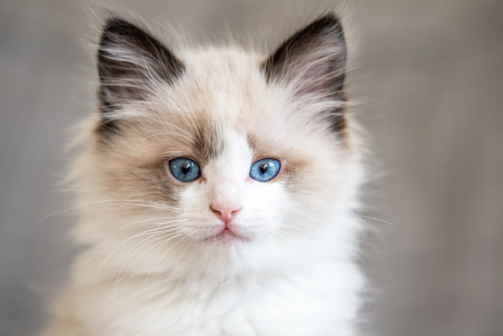 Closeup of Ragdoll kitten