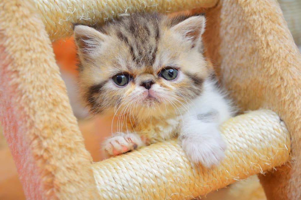 Persian kitten playing
