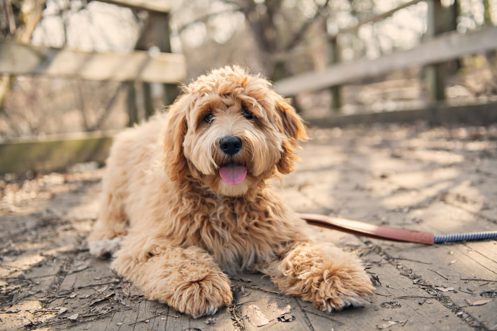Cute Labradoodle lying on ground