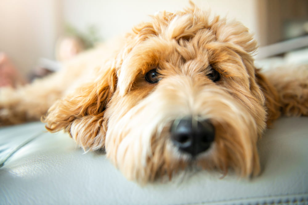 Closeup of Labradoodle face