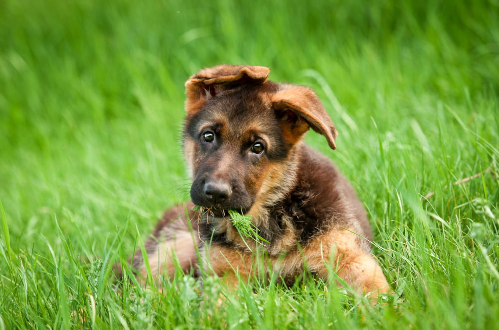 German Shepherd puppy in grass