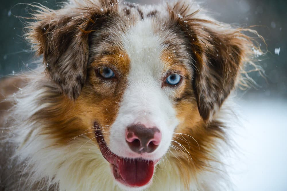 Australian Shepherd with tongue out