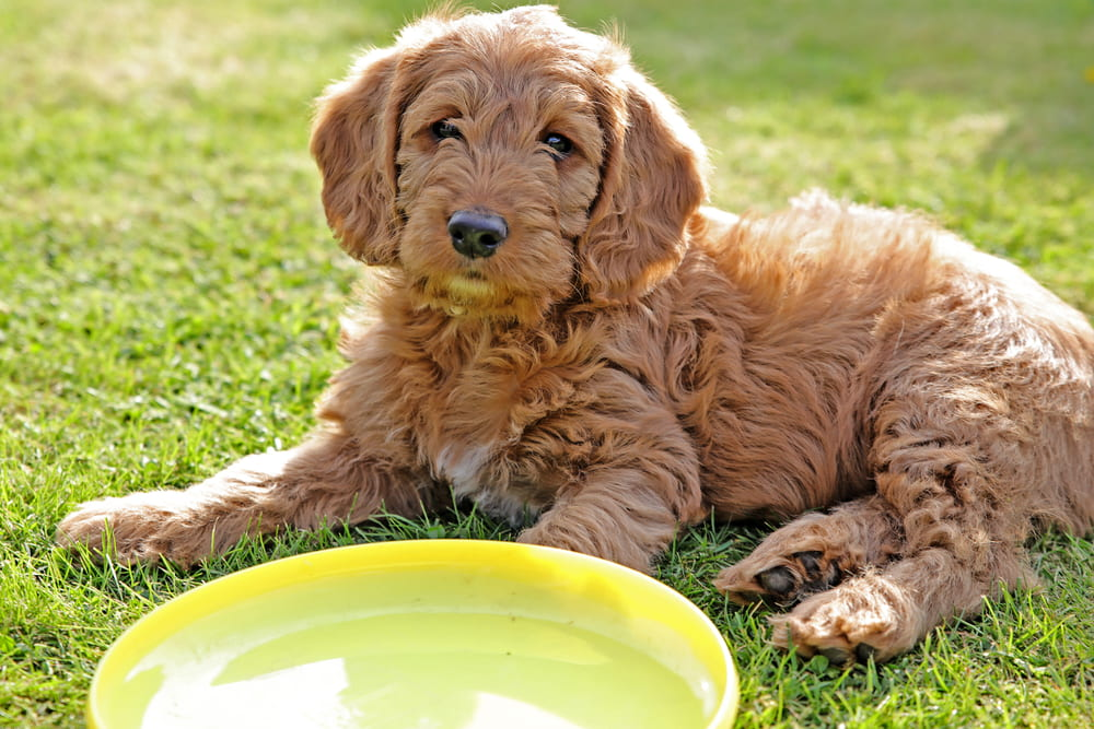 Labradoodle puppy with frisbee