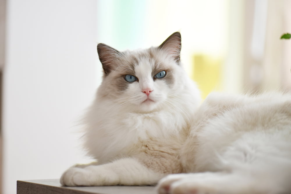 Ragdoll-cat-lounging