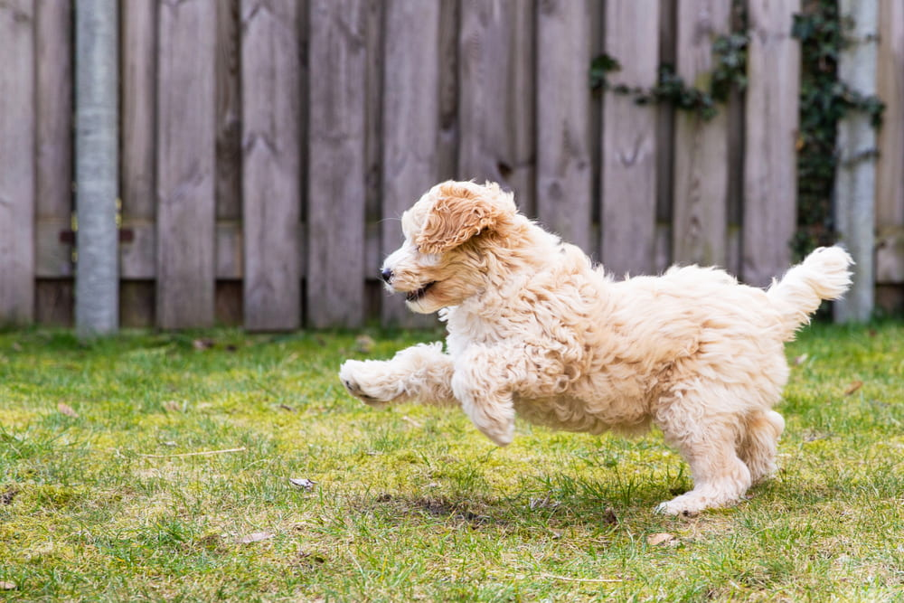 Labradoodle playing in yard