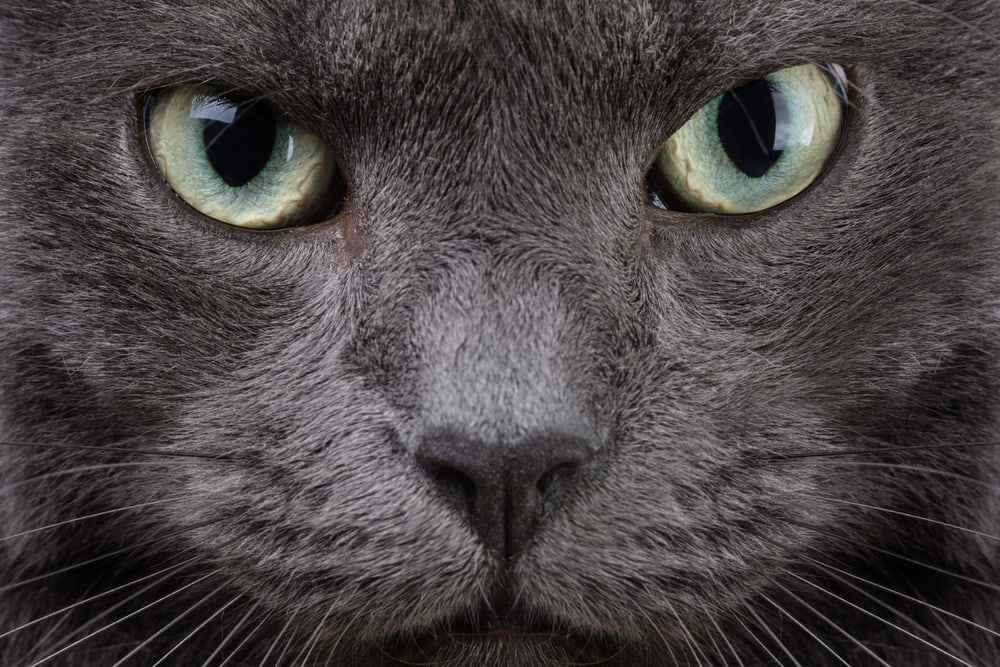 cool looking grey cat