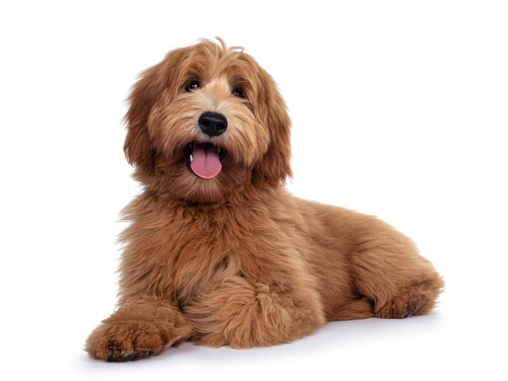 Labradoodle dog on white background