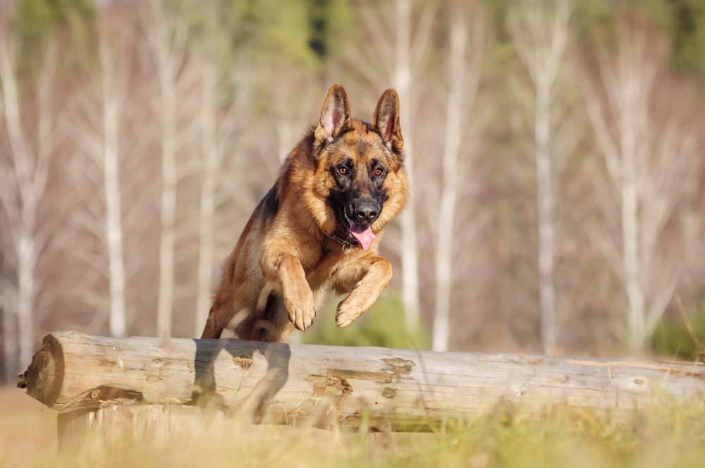 German Shepherd dog running in the woods
