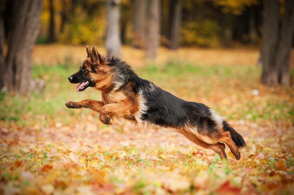 Athletic German Shepherd running