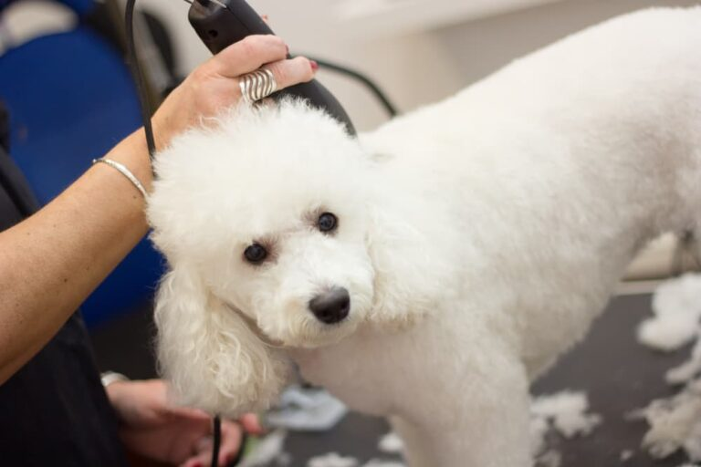 Woman grooming a Poodle