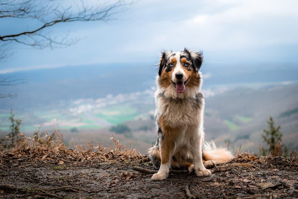 Australian Shepherd dog on hike