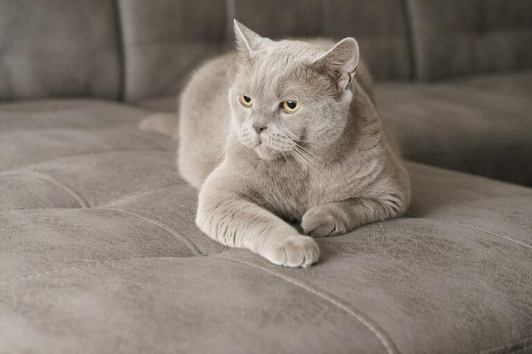 Grey cat on grey sofa