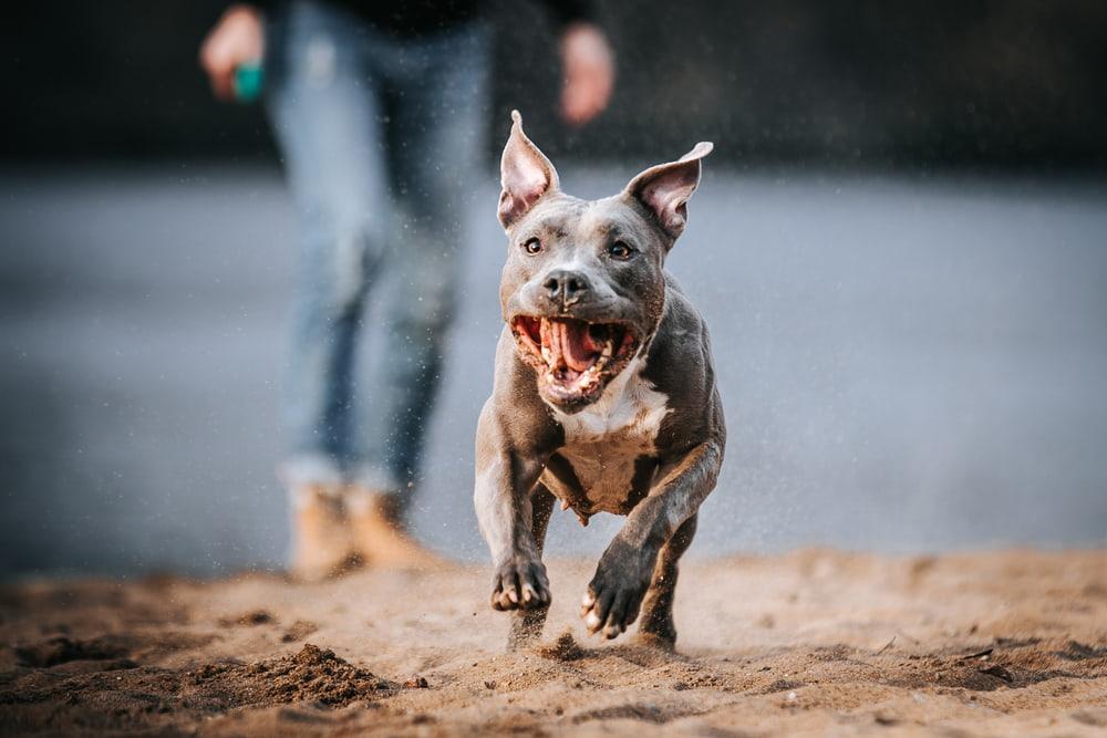 Pit Bull running in sand