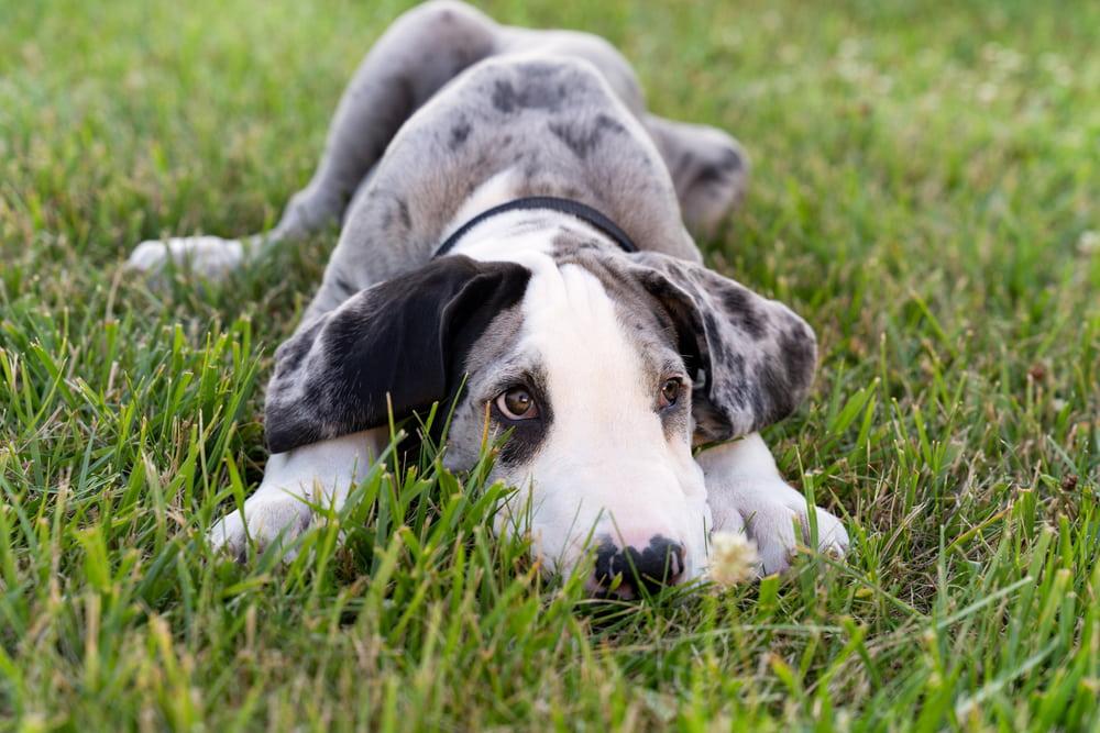 Great Dane puppy in grass