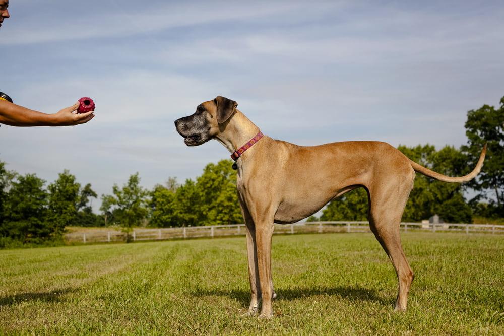 Great Dane playing ball