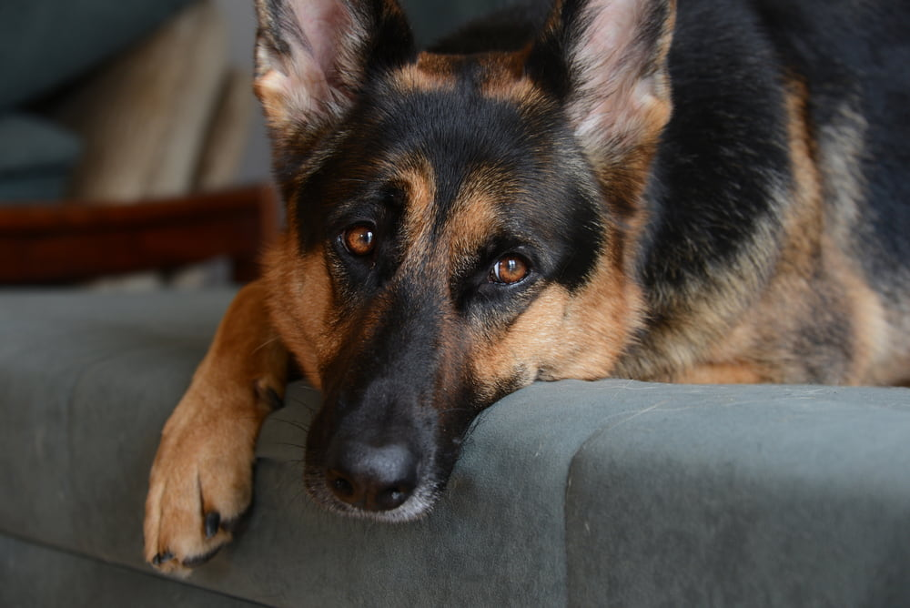 Sick German Shepherd resting