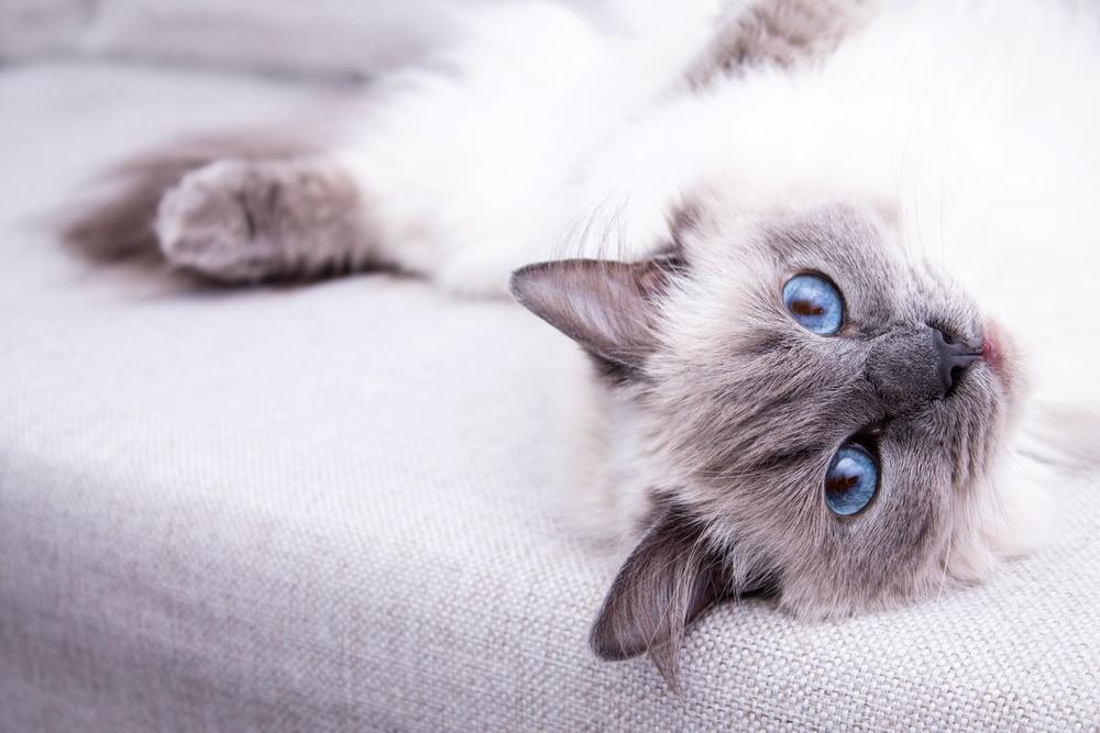 Playful rag doll cat