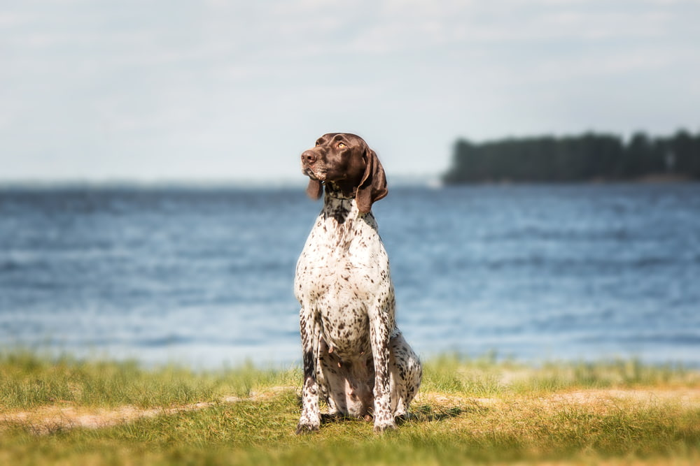 German Shorthaired Pointer by water