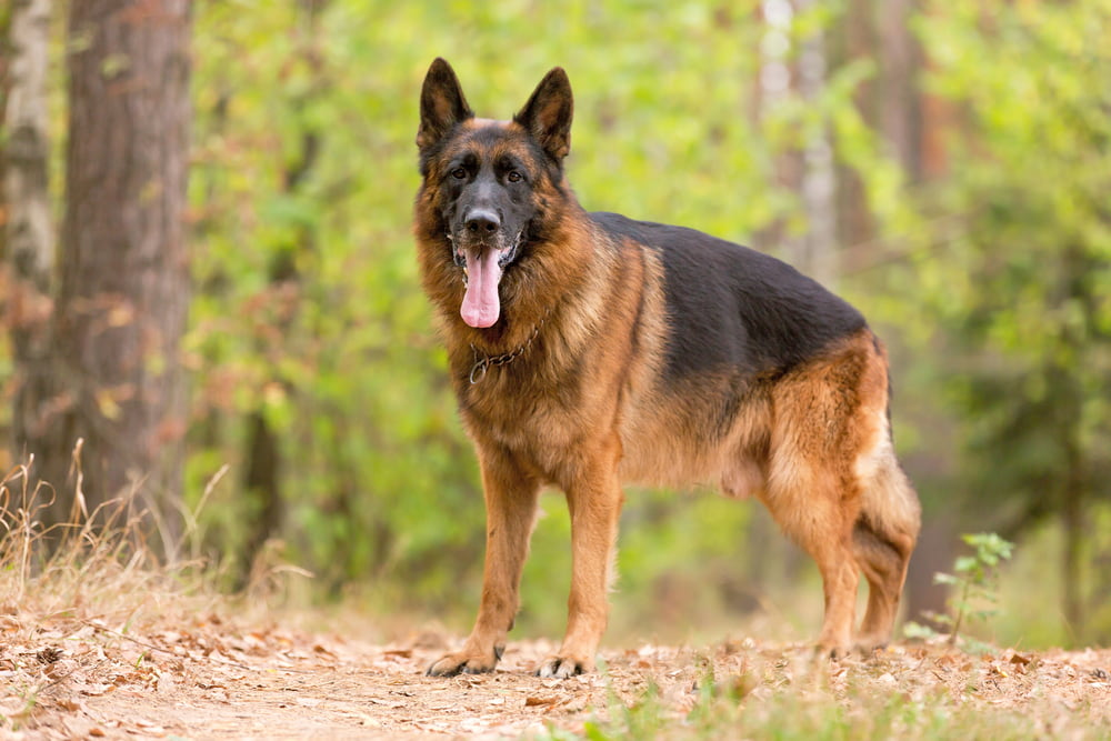 German Shepherd standing in woods
