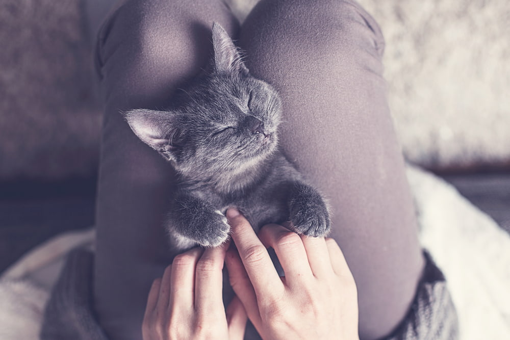 Cute grey kitten on lap