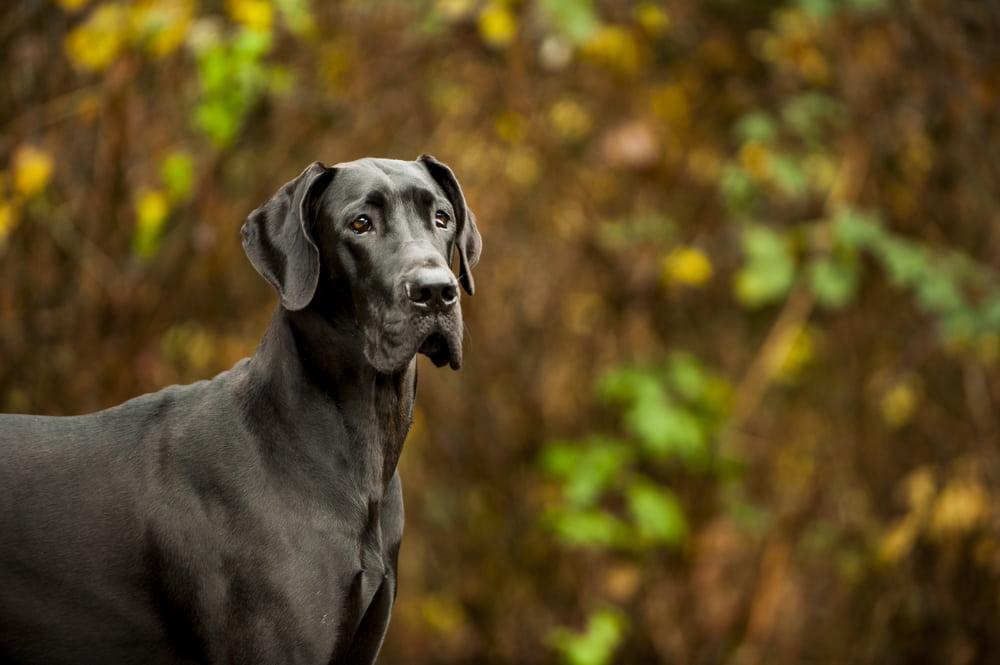 Great Dane dog in autumn