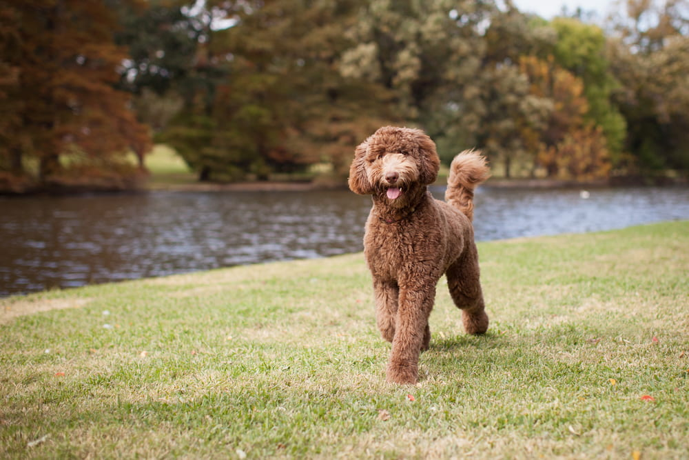 Picture of Labradoodle running